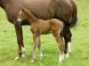 athena-foal_